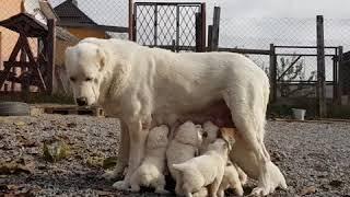 Афина и щенки 🤩 купить щенка Алабая