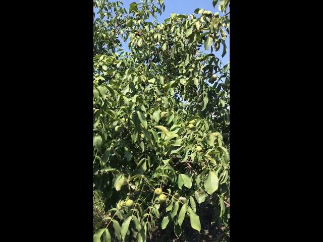 Дерево ореха Васион 7 лет