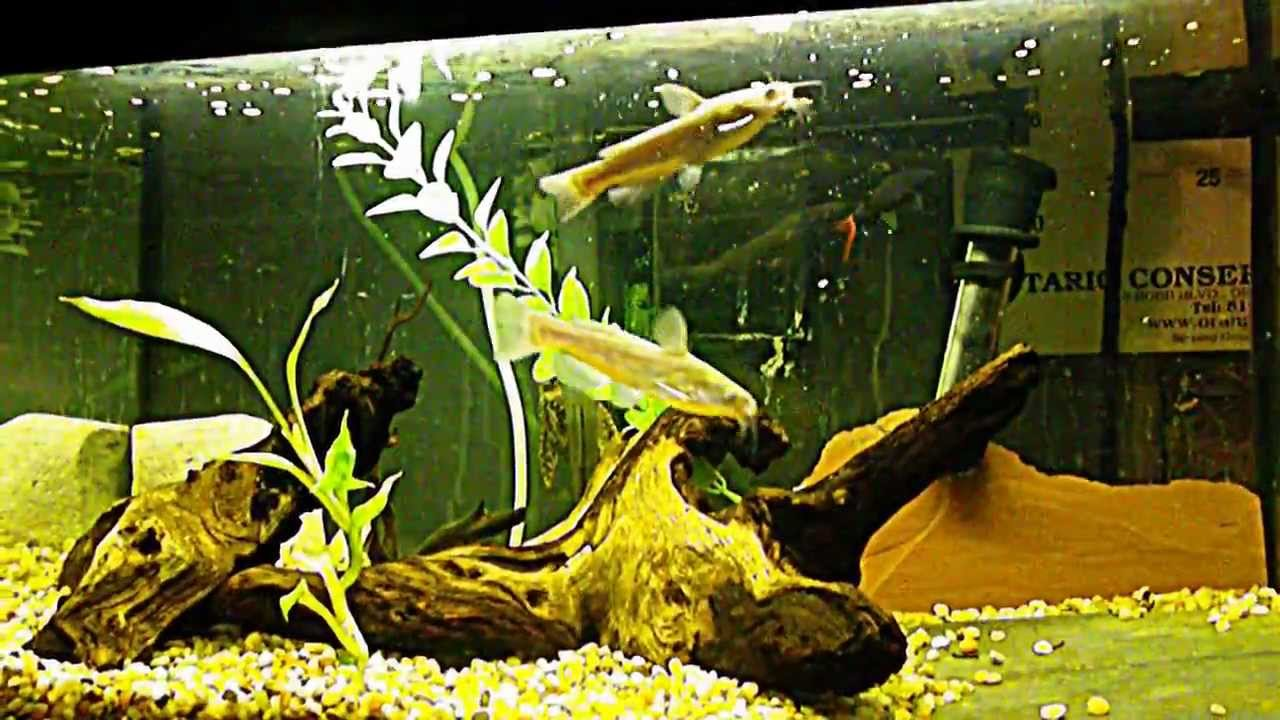 15 Gallon Bullhead Catfish Tank Youtube