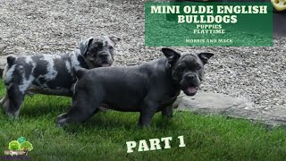 Mini Olde English Bulldog Puppies Playing - Mack and Morris -  Part 1