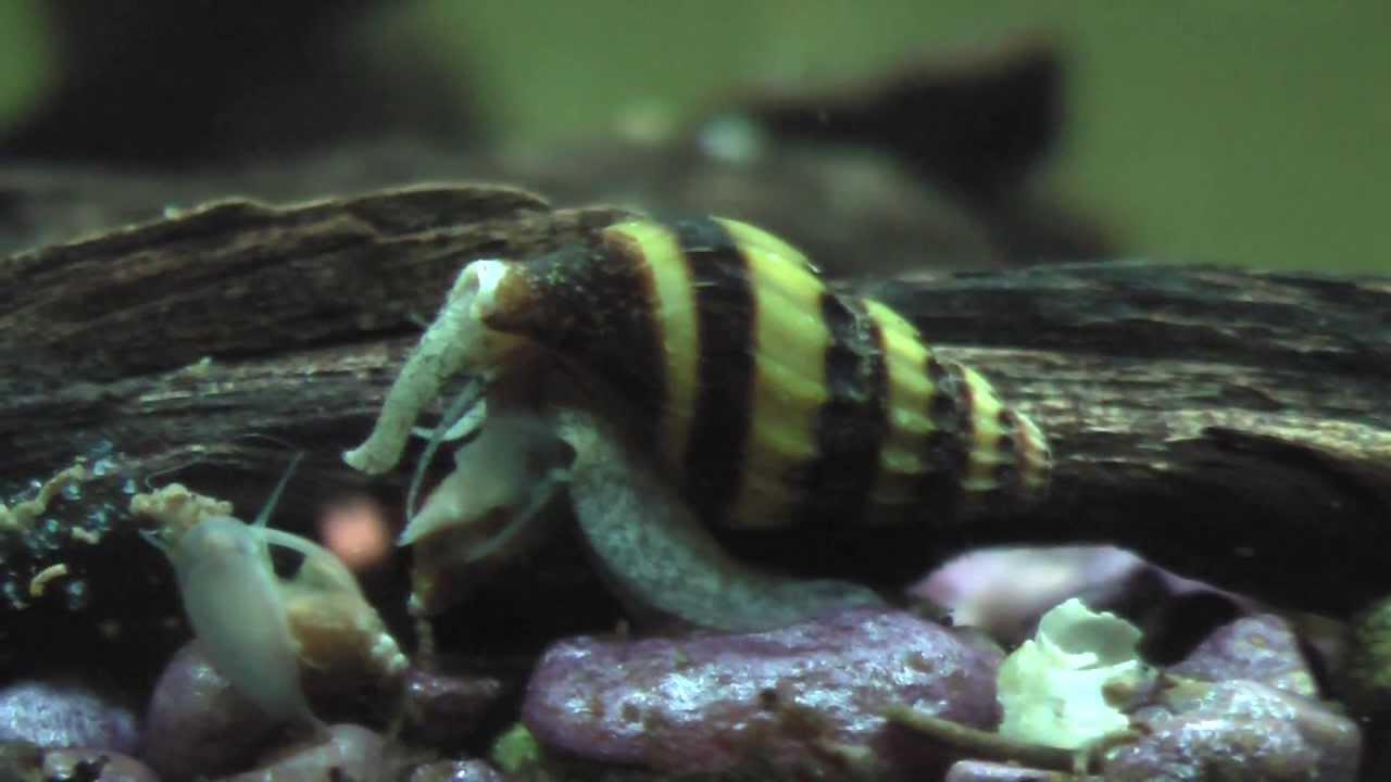 Freshwater aquarium fish that eat snails - Freshwater Aquarium Fish That Eat Snails
