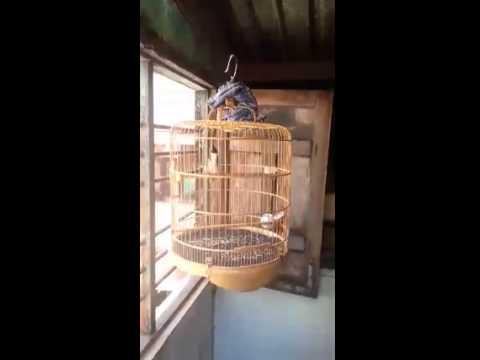 Chào Mào Bình Định top 5 cuộc thi tiếng hót chim chào mào