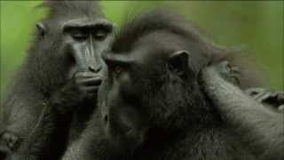 Endangered Primate Society: Crested Black Macaque Troop | Nature on PBS