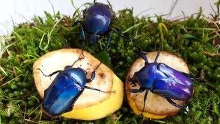 Dicronorhina micans blue