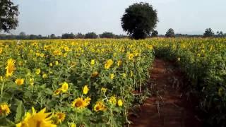 【最新】ロッブリー県のひまわり畑(Sunflower fields)の場所③ in タイ