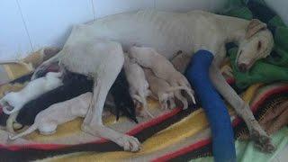 【奇跡!!】片足でボロボロの状態で町をさまよっていた母犬 子犬たちを助...