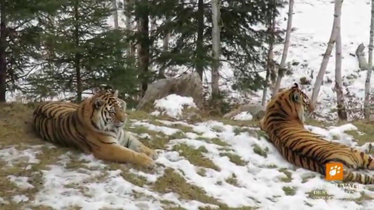 Siberian Tiger Habitat  A Tiger in its Natural Habitat