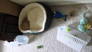 9-week Old Pomeranians Having Fun