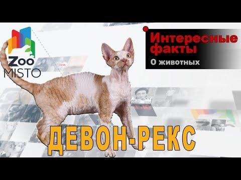 Девон-рекс - Интересные факты о породе    Кошка породы девон-рекс
