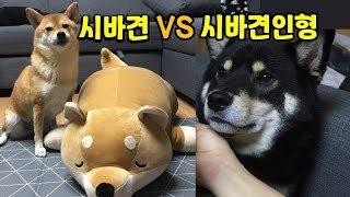 시바인형을 본 시바견의 반응 / 시바견(shibainu, 柴犬) / 곰탱이(Gomu0026Taeng)
