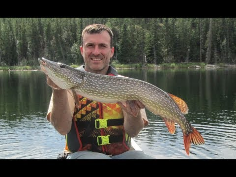 Snafu lake giant pike fishing whitehorse little fox trout for Pike fishing alaska