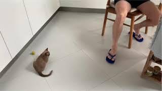 Бурманская кошка. Дрессированная бурма