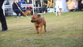 Saturday 8th August 2015 - Sbt Club Of Queensland Specialty Championship Show 2015