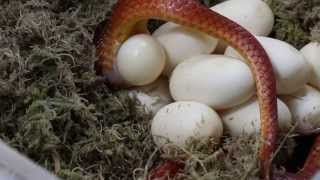 Cepelsnakes- kladení vajec užovky červené