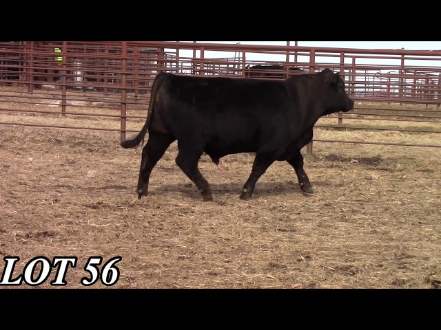Mead Angus Farms Lot 56
