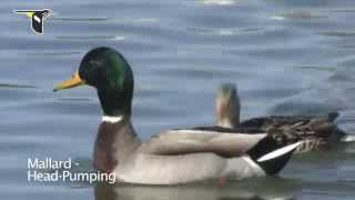 Duck Courtship Behavior