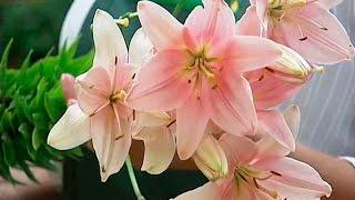 видео Выращивание лилий