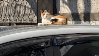 Cute calico cat sleeps on car but woke up to eat and Russian blue cat