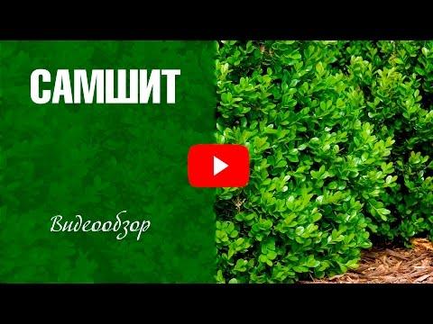 Самшит ✅ Кустарник для живой изгороди ✅ Посадка и уход