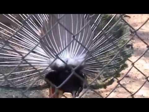 Павлиниз YouTube · Длительность: 48 с