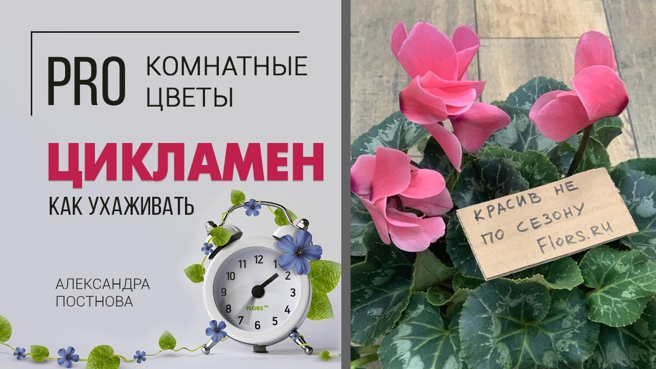 Цикламен - цветущее зимой комнатное растение. Домашние цветы необыкновенной красоты.