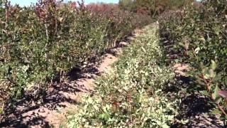 How to Prune Blueberry Bushes - Blueberry Farmers Tips & Advice