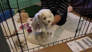 Coton Puppies For Sale - Emma 5/11/21