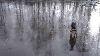 Карликовый пинчер на льду
