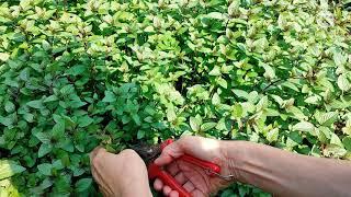 스피어민트 페퍼민트 허브 수확