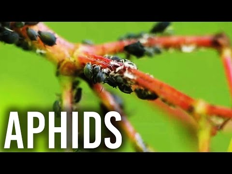 How to Get Rid of Aphids (Without Harming Your Growroom)