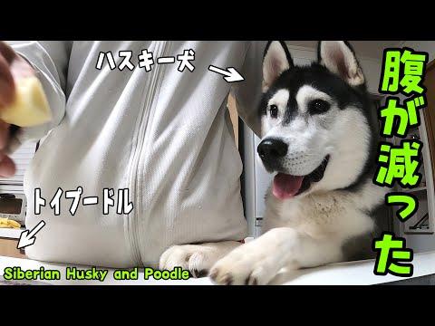 お腹が減りすぎたハスキー犬とトイプードルが可愛すぎる Husky and Poodle