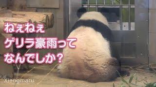 2019/8/15 ゲリラ豪雨とは無縁のモグモグシャンシャンとホワイト園長 Giant Panda Xiang Xiang