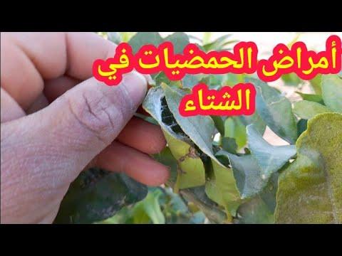 اسباب اصفرار اوراق الليمون 1