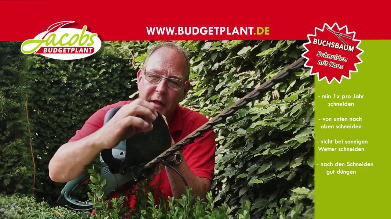 buchsbaum schneiden | wie und wann schneiden sie eine buchsbaumhecke