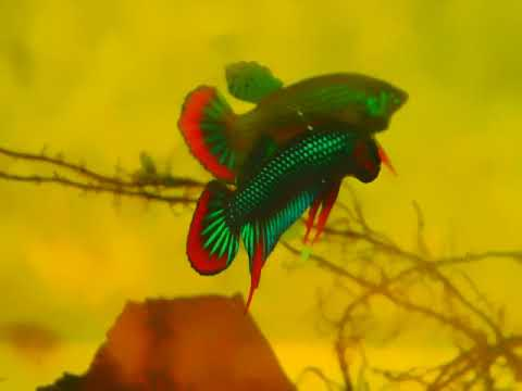 On sell now.  Original Wild Betta Imbellis. If you're intere