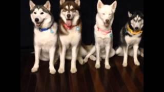 Squeaker Poochlight Electric Blue Illuminating Dog Collar |  Husky Quartet