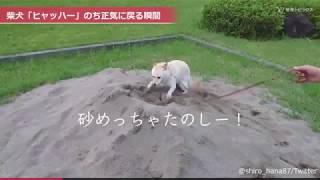 白い柴犬のハナちゃん。散歩中に遭遇した砂場に興奮して大ハッスル、ひ...