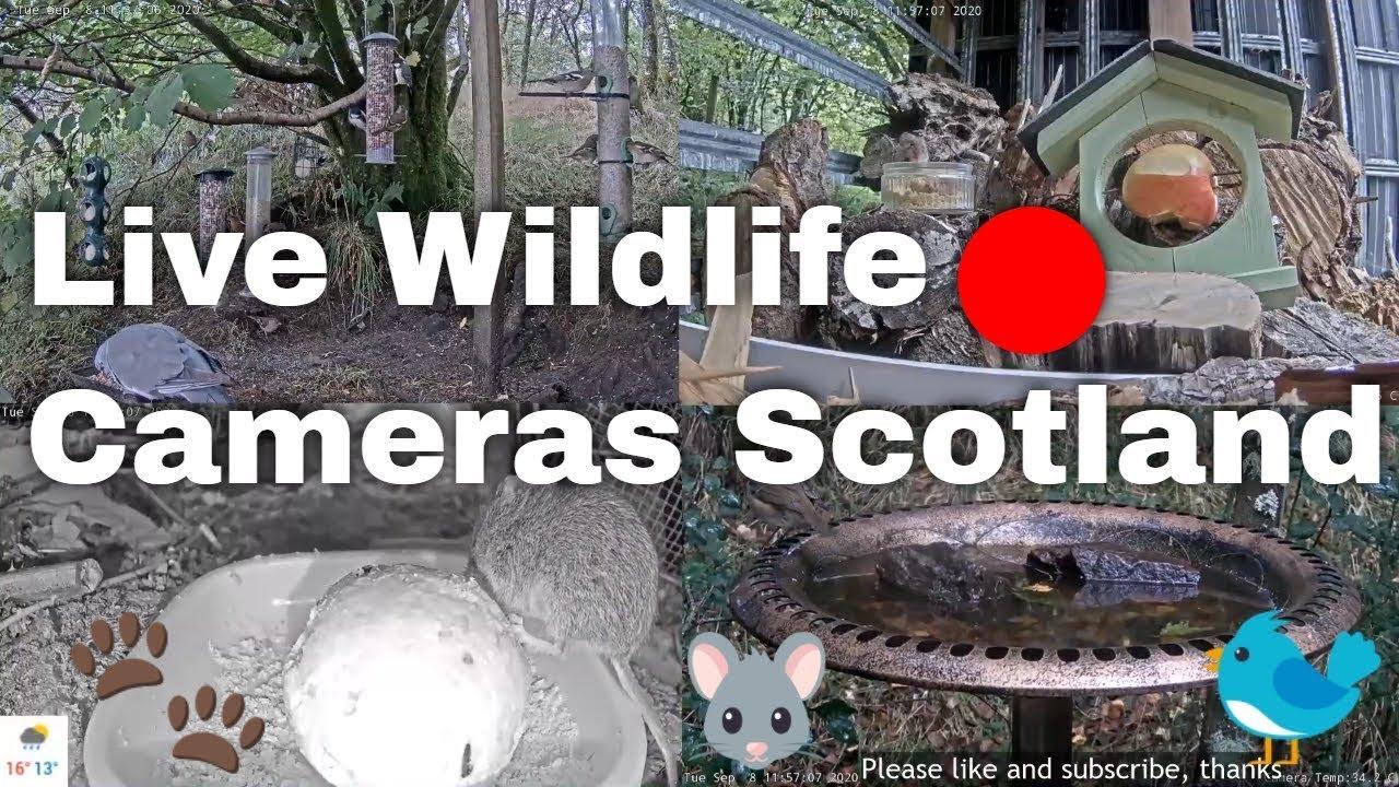 LIVE ? Bird Feeders, Wildlife Cameras   Scotland UK