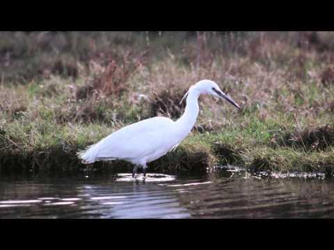 BTO Bird ID - Little Egret and Great White Egret