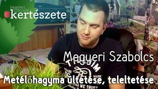 Metélőhagyma-Snidling termesztése és teleltetése (Allium schoenoprasum) -Megyeri Szabolcs Kertészete