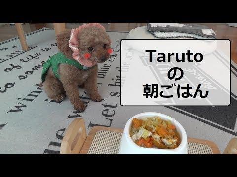 犬の手作り朝ごはん★ 最後はライオンに変身!? トイプードルのTaruto