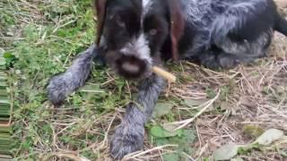 видео Курильский бобтейл: кормление, уход и воспитание