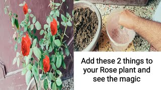 157. Use this in your rose plant and  see the magic .