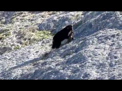 bear taking unborn elk calf out of dead mother in yellowstone