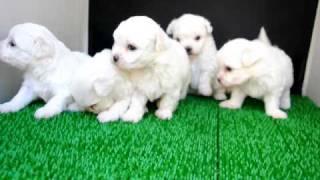 もちろんホワイトのマルチーズ子犬!!<子犬の利根RS>