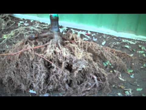 Cheap Plants- Bare Root Is the Way To Buy Plants Online Cheap at Tn Online Tree Nursery