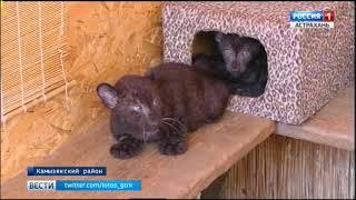 видео В Московском зоопарке от Николая родились леопардики