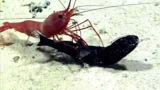 海の底にもドラマがある。捕食した魚を解体し、中から小さな魚を取り出す深海エビ