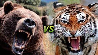 Walki Zwierząt - Tygrys Vs Czarny Niedźwiedź