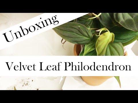 Unboxing: Velvet Leaf Philodendron (Velvet Leaf Bronze Micans Vine Philodendron)